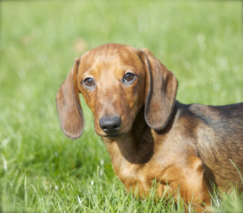 Mom S Dachshunds Sires