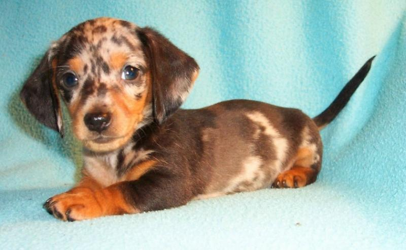 Best Food For Dachshunds Puppies