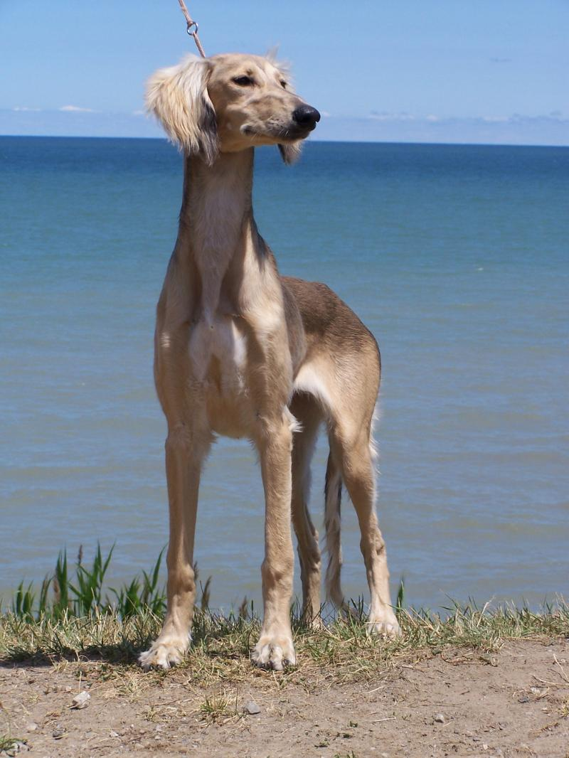 Elegant Saluki dog on the beach, Large brown Saluki dog, Image of Saluki dog